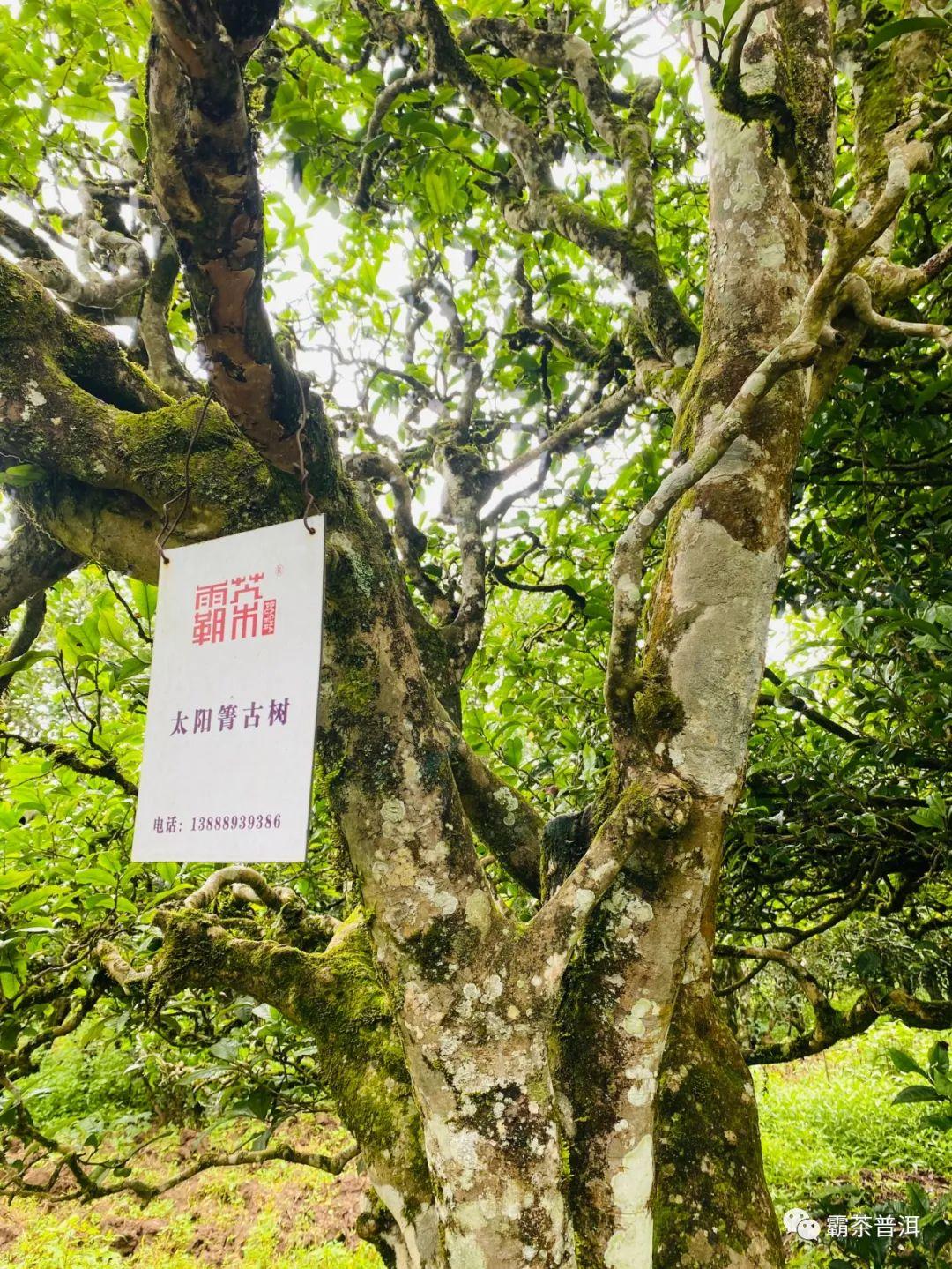 Старые деревья из Лошуйхэ